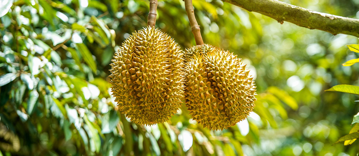 What is Durian and What Does it Taste Like